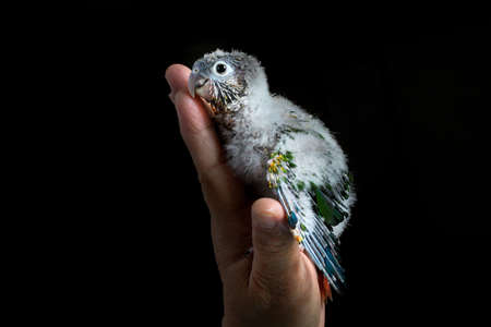 Baby Conure feeling secure Stock Photo