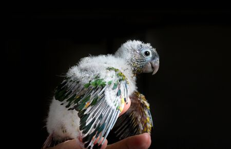 Hand bred Baby Conure