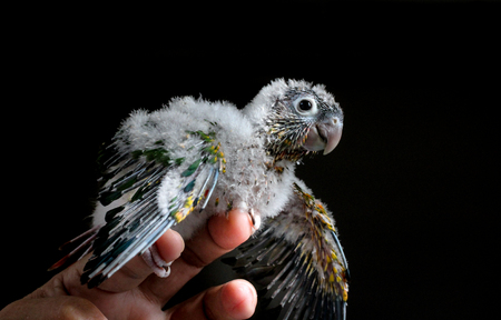 Baby Conure showing off wings