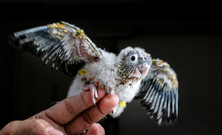 Adorable baby conure flapping wings