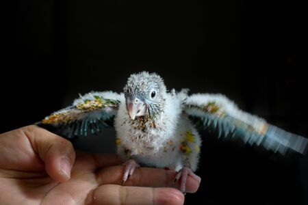 Pet baby conure learning how to fly by flapping wings Stock Photo
