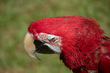 Red and green macaw portrait