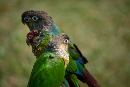 Conures enjoying the sun in tropical weather Archivio Fotografico