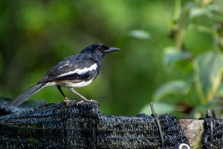 Magpie Robin in the Garden Archivio Fotografico