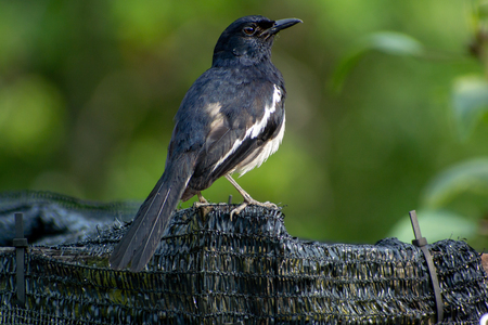 Magpie robin sitting on a fence