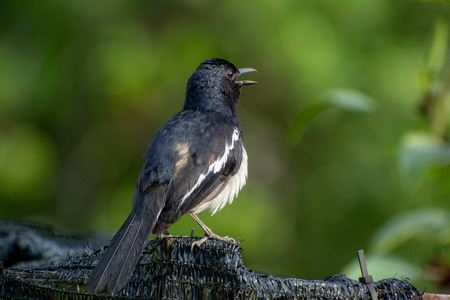 Magpie robin singing on a fence Archivio Fotografico
