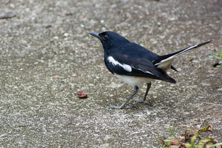 Magpie robin with a worm