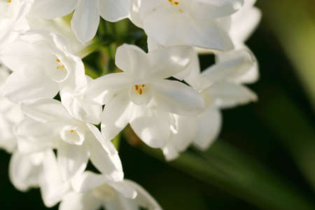 close up of white flowers blossom, wide petal, yellow stamen over green blury background Stock Photo - 2556199