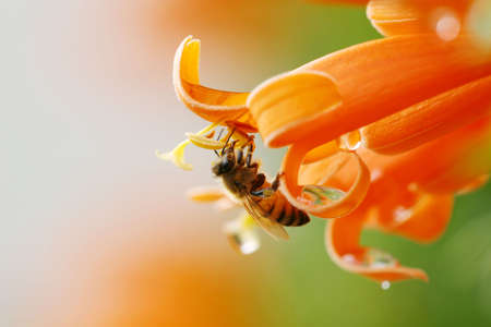 shiney: close up of a bee collecting nectar from an orange flower, shiney drops of water on the flower