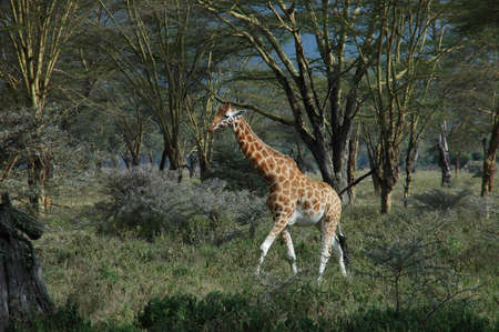 nack: a lone giraffe walking through a forest clearing, through dense grass, sporadic bushes, in front of tall trees with sparse leaves Stock Photo