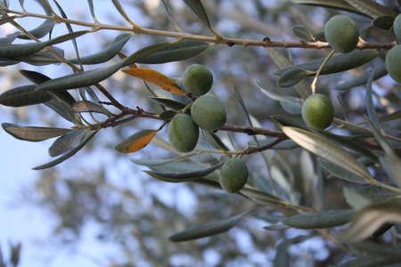 olive green: olive