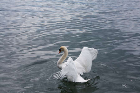 White swans in the lake