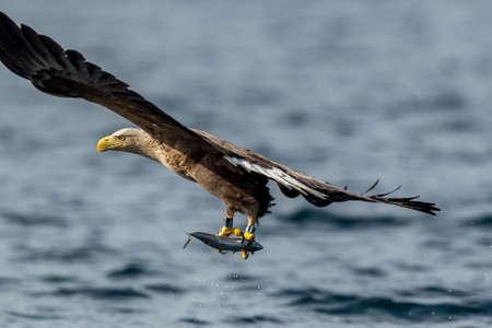 REKDAL, NORWAY - 2019 April. Whitetaile Eagle catching fish. Stock Photo