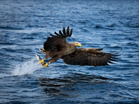 REKDAL, NORWAY - 2019 April. Whitetaile Eagle with super great catch.
