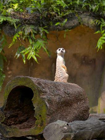 suricate: Suricate at the zoo