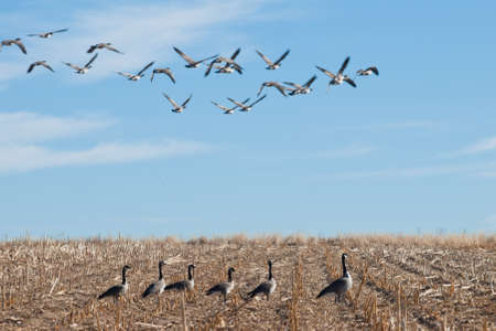 Canada geese feeding on the empty corn field. photo