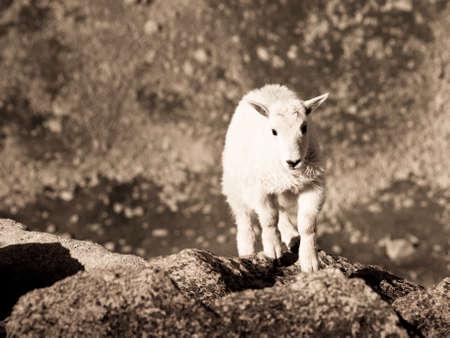 cabra montes: Un ni�o de cabra escalada de las rocas. Foto de archivo