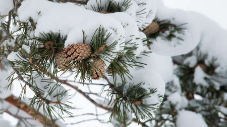 snow cone: Close-up of pine cones hanging from a tree. Stock Photo