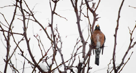 A robin in a snow tree. photo