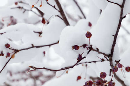 Red berries in snow. photo