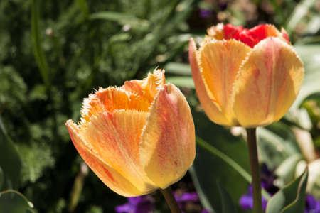 denver botanical gardens: Tulips at the Denver Botanical Gardens.