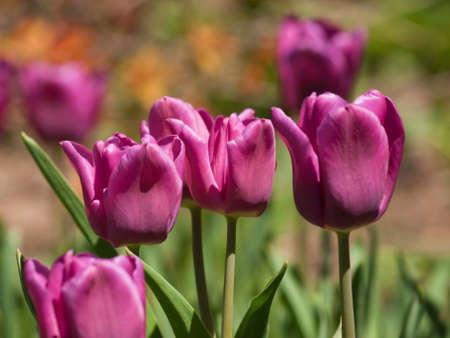 Tulips at the Denver Botanical Gardens. photo