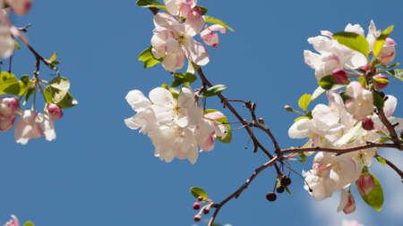 denver botanical gardens: Crabapple in bloom at the Denver Botanical Gardens. Stock Photo