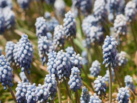 denver botanical gardens: Blue spring flowers at the Denver Botanical Gardens.