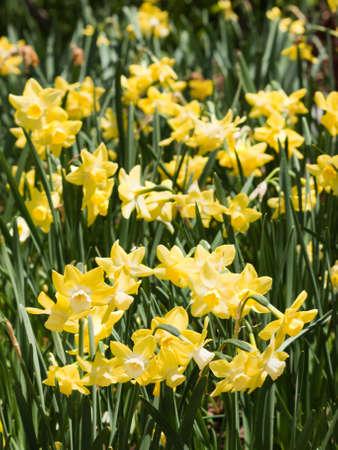 denver botanical gardens: Yellow spring flowers at the Denver Botanical Gardens.