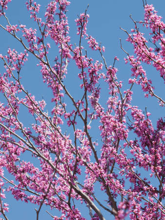 denver botanical gardens: Eastern Redbud in bloom at the Denver Botanical Gardens. Stock Photo