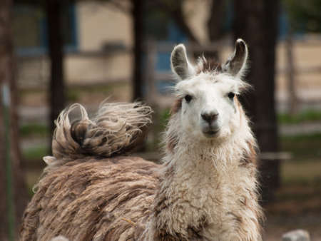signle: Signle lama on the farm in Montrose, Colorado.