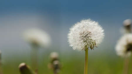 White dandelions on a green meadow in Spring. photo