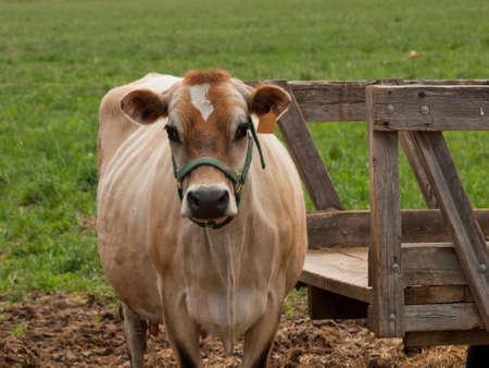 red heifer: Vaca lechera rojo pastoreo en una pradera de Montrose, Colorado.