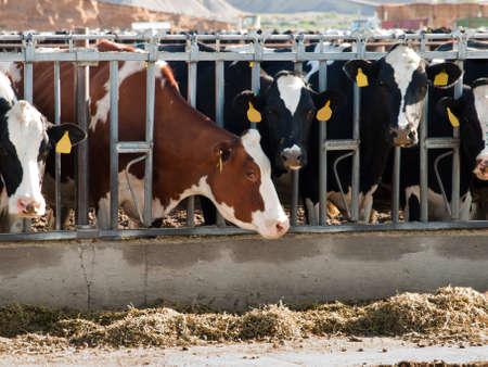 lacteos: Alimentaci�n de vacas en la granja de productos l�cteos en Montrose, Colorado.