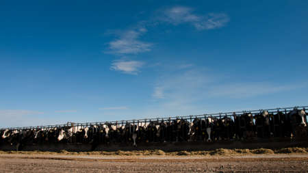 Feeding cows on the dairy farm in Montrose, Colorado. photo