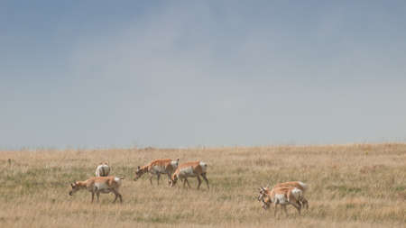 Herd pronghorn with does on plains of Cheyenne,  WY. Stok Fotoğraf