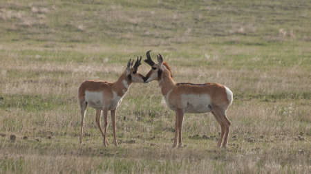Two buck pronghorns  on plains of Cheyenne,  WY. photo