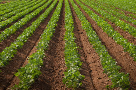 cultivated land: Agricultural land with row crops in Fort Collins, Colorado.