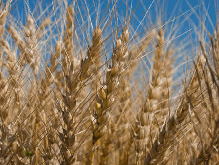 Yellow grain ready for harvest growing in a farm field in Fort Collins, Colorado. photo