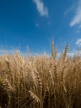 Yellow grain ready for harvest growing in a farm field in Fort Collins, Colorado. Stock Photo - 10041949