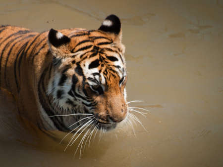Close up of tiger in captivity. photo