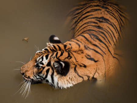 Close up of tiger in captivity. Stock Photo - 10192333