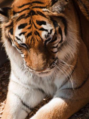 sumatran tiger: Close up of tiger in captivity.