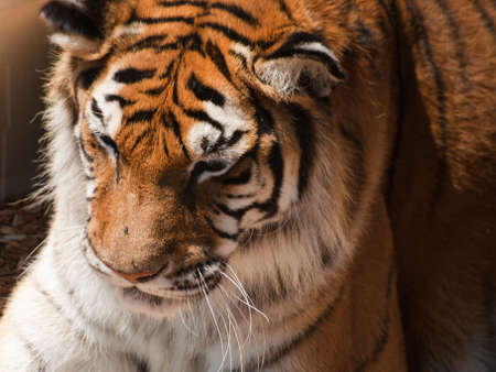 Close up of tiger in captivity. Stock Photo - 10192400