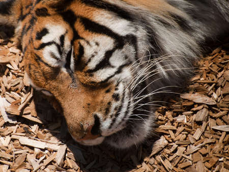 Close up of tiger in captivity. Stock Photo - 10193448