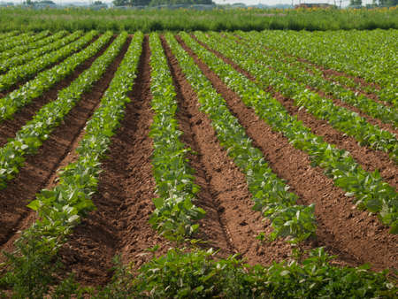 potato tree: Agricultural land with row crops in Fort Collins, Colorado.
