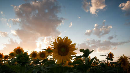Sunflower field at sunset in Colorado. Stock Photo - 10250511