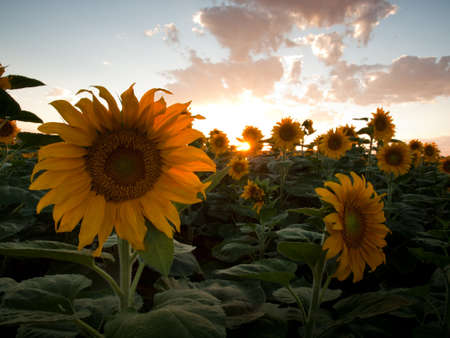 Sunflower field at sunset in Colorado.
