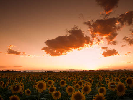 Sunflower field with the Longs Peak, Colorado view on forground  at sunset. Stock Photo - 10233787