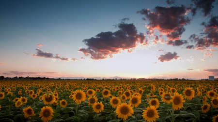 Sunflower field with the Longs Peak, Colorado view on forground  at sunset. Stock Photo - 10252079